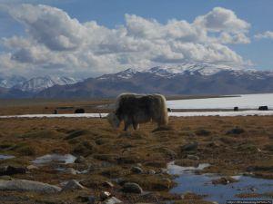 Яки на озере Каракуль